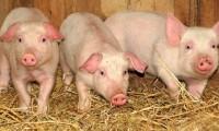 Porci țărănești vii sau sacrificați pe loc
